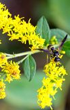 黄色黄蜂紫色翼 免版税库存照片