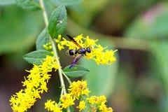黄色黄蜂紫色翼 免版税库存图片