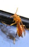 黄色黄蜂 库存图片