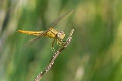 黄色蜻蜓 免版税图库摄影