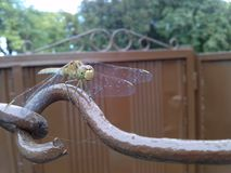 绿色蜻蜓 免版税库存照片