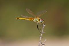 黄色蜻蜓 免版税库存照片