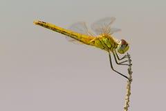 黄色蜻蜓 库存照片