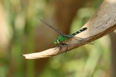 绿色蜻蜓 免版税库存图片