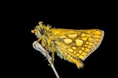 黄色蝴蝶在晚上 免版税库存图片