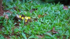 黄色蝴蝶在盐沼吃矿物 影视素材