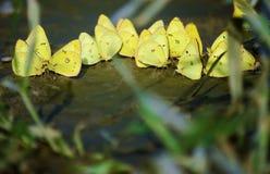 黄色蝴蝶搅浊 图库摄影