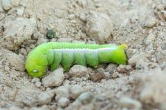 绿色蝴蝶毛虫 库存图片