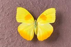 黄色蝴蝶特写镜头  免版税库存图片