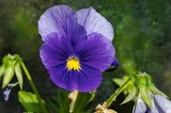 紫色蝴蝶花、中提琴altaica或者狗紫罗兰色花在沼地有黄色花粉的 免版税库存照片