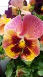 紫色蝴蝶花庭院甲板门廊 免版税库存图片