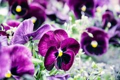 紫色蝴蝶花,蓝色照片过滤器,春天 库存照片