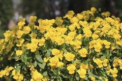 黄色蝴蝶花 库存照片