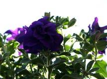 紫色蝴蝶花 库存图片