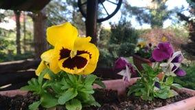 黄色蝴蝶花 库存图片
