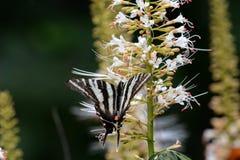黑色蝴蝶镶边白色 免版税图库摄影