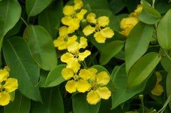 黄色蝴蝶,豌豆藤 图库摄影