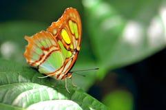 绿色蝴蝶,绿沸铜(Siproeta stelenes) 库存照片