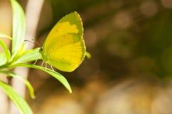 黄色蝴蝶 免版税库存照片
