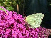 黄色蝴蝶 库存照片