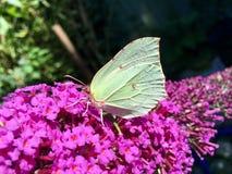 黄色蝴蝶 库存图片