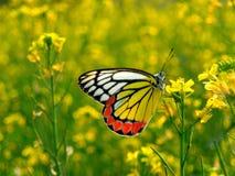 黄色蝴蝶 免版税图库摄影