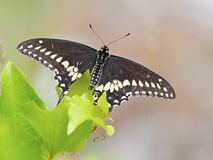 黑色蝴蝶swallowtail 免版税库存照片