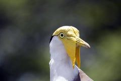 黄色头被掩没的田凫鸟权利 库存图片