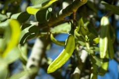 年轻(绿色)角豆树 库存图片