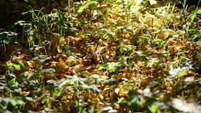 黄色说谎在地面的下落的叶子 股票录像