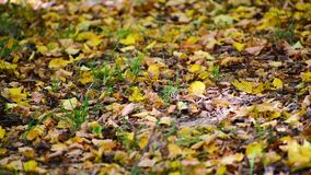 黄色说谎在地面的下落的叶子 影视素材