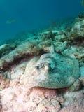 黄色黄貂鱼佛罗里达群岛 库存照片
