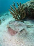 黄色黄貂鱼佛罗里达群岛 图库摄影