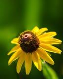 黄色黄金菊或黑眼睛的苏珊野花 库存图片
