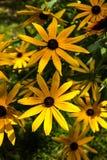黄色黄金菊花。 免版税库存照片