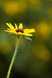 黄色黄金菊花 库存图片