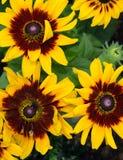 黄色黄金菊黑眼睛的苏珊花 免版税库存图片