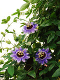 紫色阴霾西番莲 库存照片