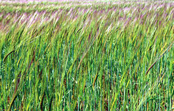 年轻绿色黑麦耳朵 库存照片