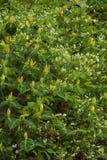 黄色延龄草& Phacelia,伟大的发烟性Mtns NP 库存图片