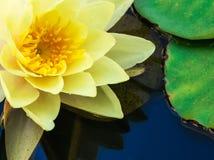 黄色水Lilly的宏观图象 免版税库存照片