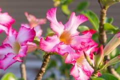 紫色Adenium开花背景或插入物文本 免版税库存照片