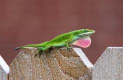 绿色Anole蜥蜴(Anolis carolinensis) 库存图片