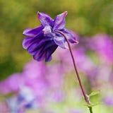 紫色Aquilegia |哥伦拜恩 库存照片