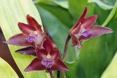 黑紫色Bifernaria兰花 库存照片
