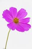 紫色bipinnatus特写镜头 免版税库存图片