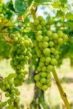 绿色Blauer Portugeiser葡萄群 免版税库存图片