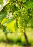 绿色Blauer Portugeiser葡萄群 免版税图库摄影