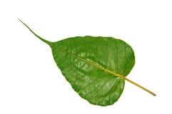 绿色Bodhi叶子 免版税库存照片