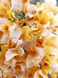 黄色bouganvillea 免版税库存照片